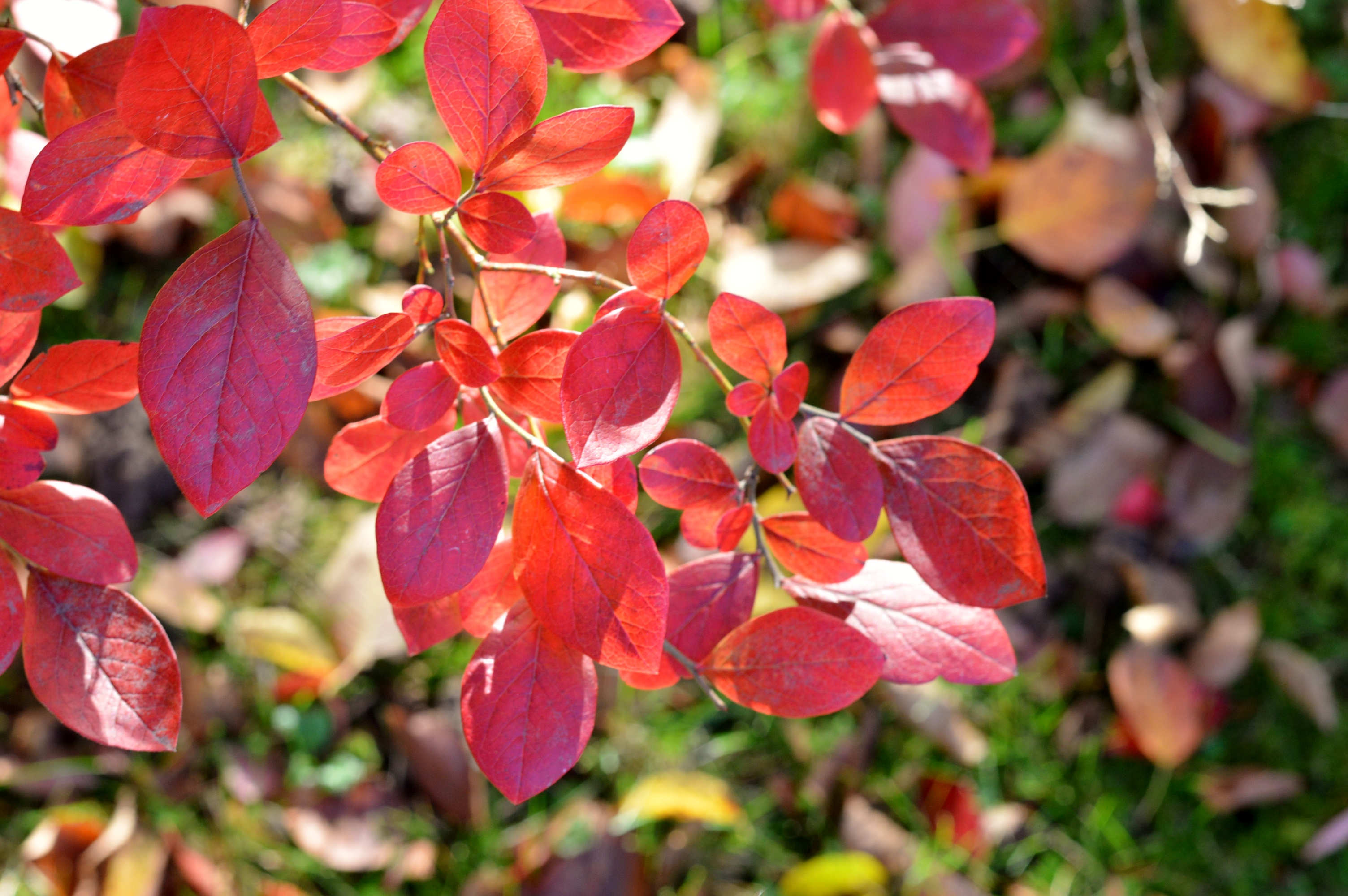 Herbstblätter, autumn leaves, momiji leaves